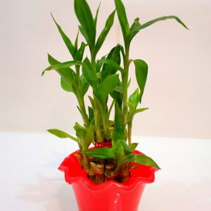 2 Layer Good Luck Feng-Shui Bamboo Plant with Stylish Red Color Fancy Pot.