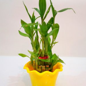 Good Luck Feng-Shui Bamboo Plant with Yellow Color Pot