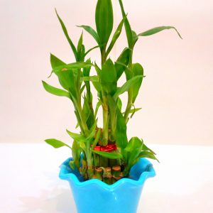 Good Luck Feng-Shui Bamboo Plant with Blue Color Pot