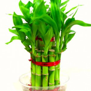 2 Layer Good Luck Feng-Shui Bamboo Plant with Transparent Glass Bowl