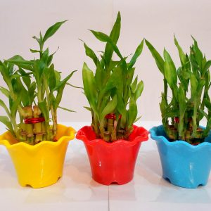 3 Pieces 2-Layer Good Luck Feng-Shui Bamboo Plant with Colorful Round Spiral Fancy Pot (Money Saver Pack)