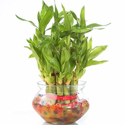 2 Layers Good Luck Feng Shui Bamboo Plant With Water Gel In A Glass Vase J K Florist