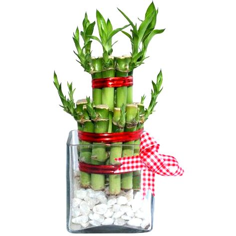 2 Layers Good Luck Feng Shui Bamboo Plant In A Square Shaped Glass